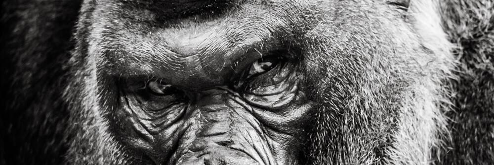 Tapet med apor och apdjur