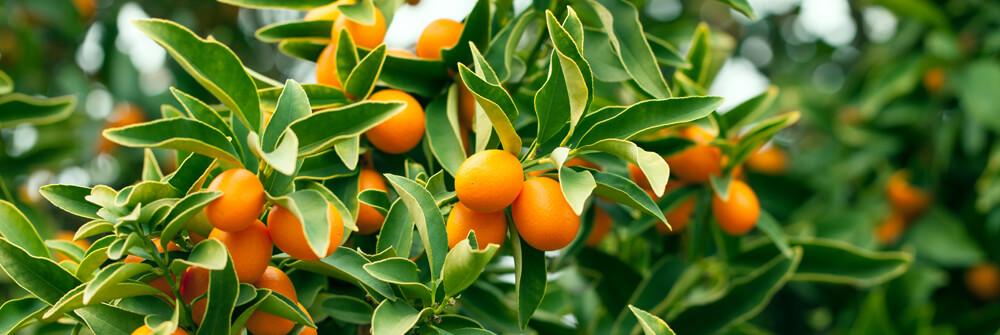 Fototapet med frukt