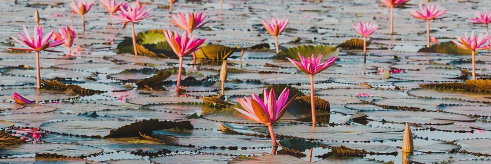 Fototapet med lotusblommor