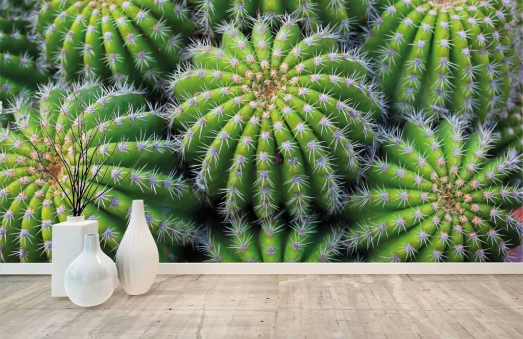 Kaktusar Kaktusar 8