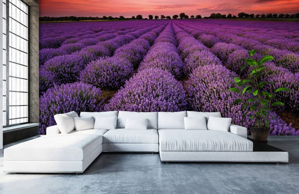 Blommor Lavendel fält 5