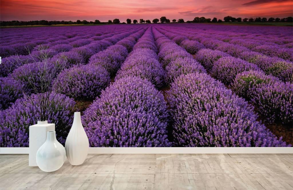 Blommor Lavendel fält 8